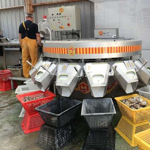 Calibreuse huîtres